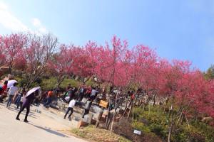 龍岩漳平永福鎮的櫻花樹。