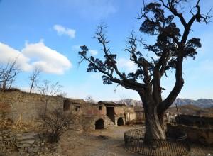 靈水村的千年古柏。
