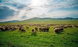 塞罕壩大草原牧場,遊蕩的羊群像秋原上漂移的標點。