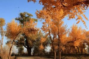 轉成金黃色的胡楊木,顏色鮮麗動人。