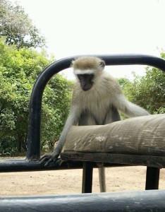 爬上巡邏車的非洲長臂猿。
