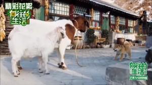 蘑菇屋家庭中的另三位成員,一狗二羊。