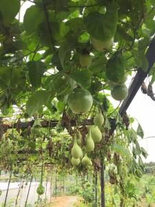 榮杰園也種植觀賞用的水果。