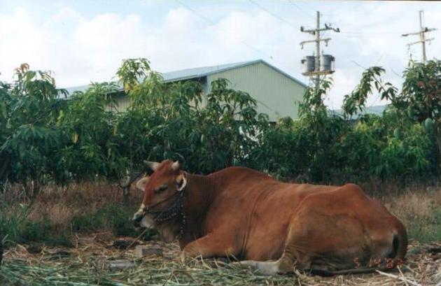 二層行溪旁的農家畜養的黃牛,仍擔任主要獸力。