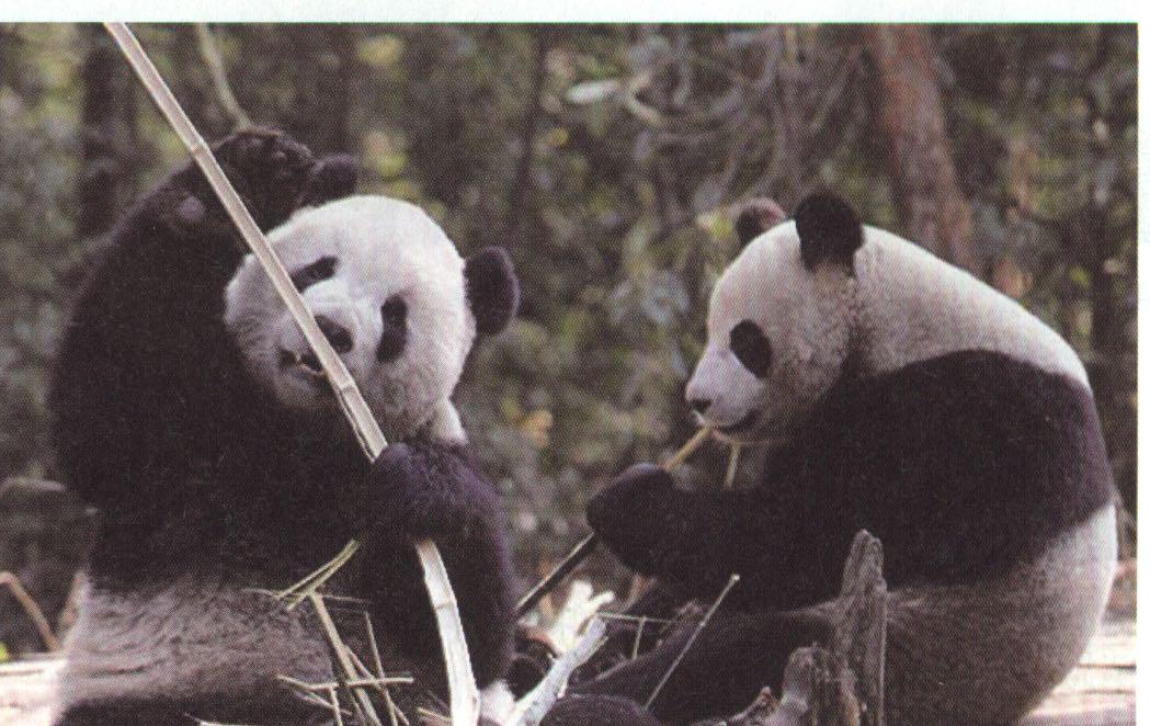 「團團」、「圓圓」抵台後入住新家台北木柵動物園。